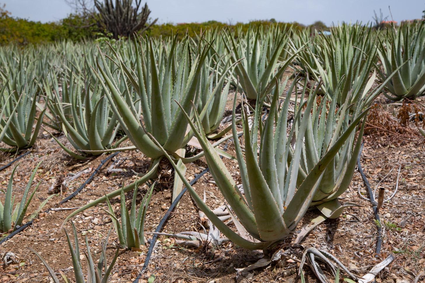 Aloe vera wordt commercieel verbouwd op het eiland Curacao