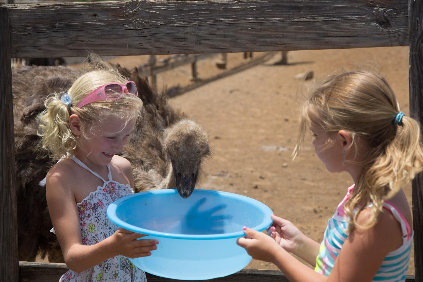 Kinderen voeren struisvogels in de struisvogelfarm